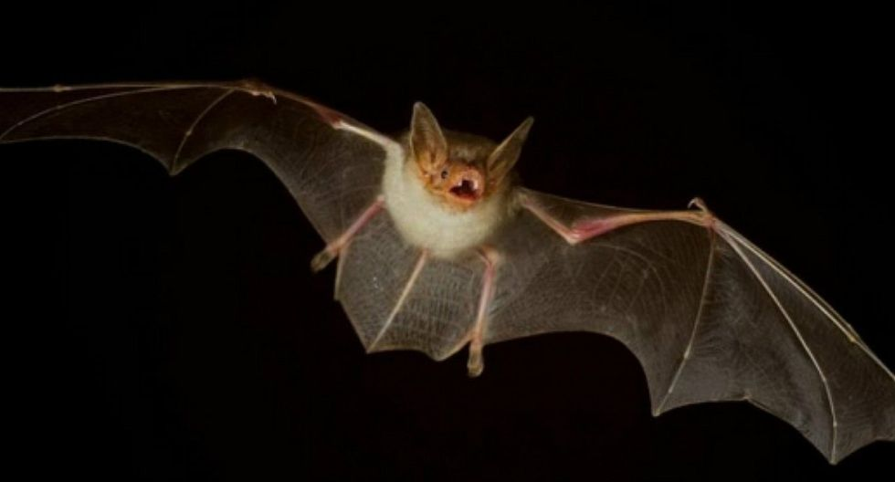 Descubren dos nuevas especies de murciélagos con cara de perro (FOTOS)