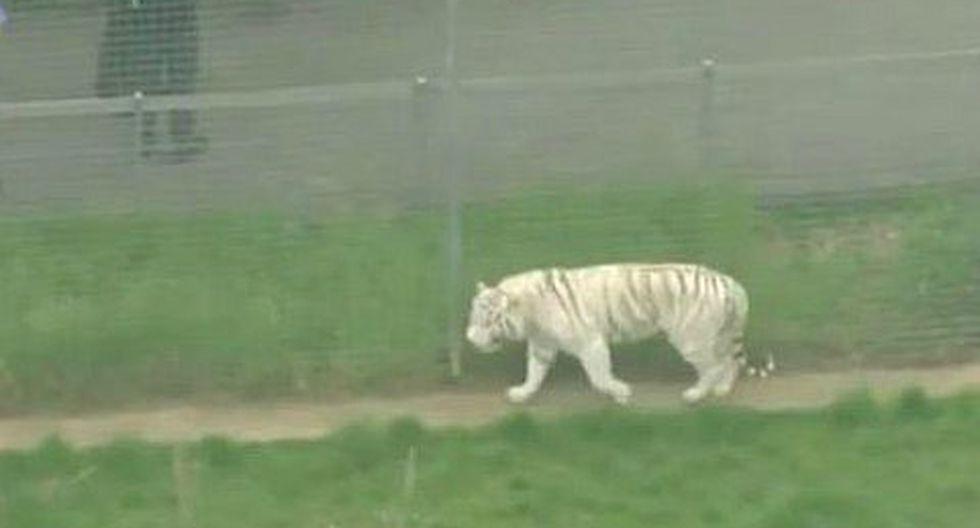 Un tigre mató a su cuidadora en un zoológico de Inglaterra (VIDEO)